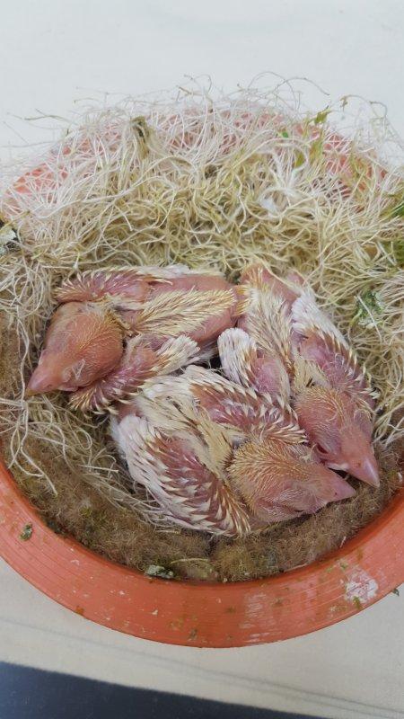 Ersten Satinetvögel 2017
