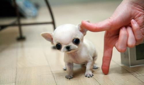 le plus petit chient apéritif du monde