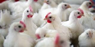 LES MOËRES La grippe aviaire n'est pas en cause dans la mort de 7 000 poulets  Ce week-end, environ 7 000 poulets ont été retrouvés morts dans une exploitation des Moëres. Les analyses effectuées ont exclu un cas de grippe aviaire.