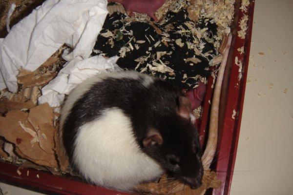 bébé rats à donner