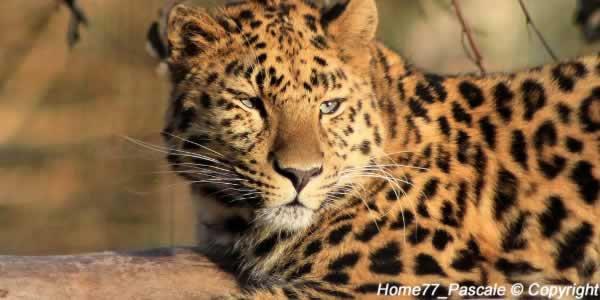 Le léopard de l'amour