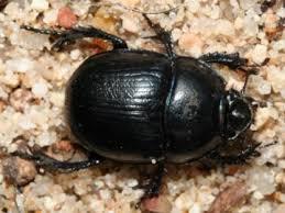 Le bousier/scarabée sacré