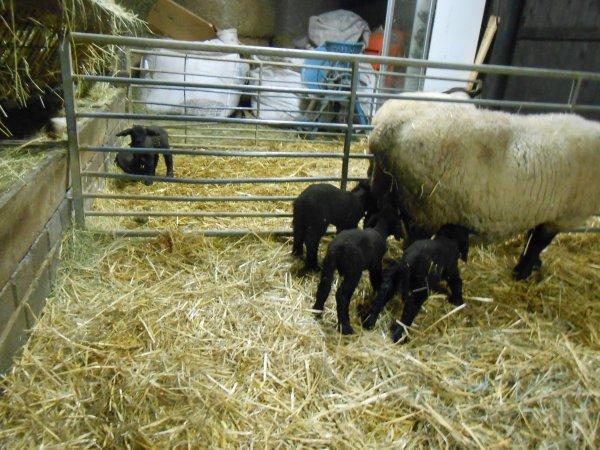 nos premiers agneaux
