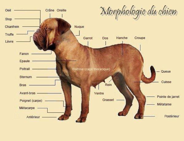 Morphologie du chien