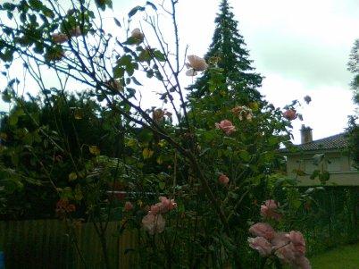 Bon dimanche a tous malgré le temps pour vous ses roses