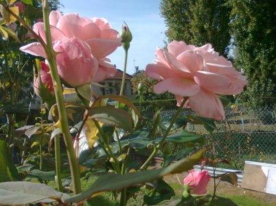 Pour vous ses roses bonne après midi