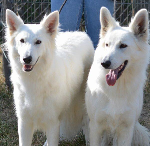 Lutine et Laïkha des loups anges de kaina