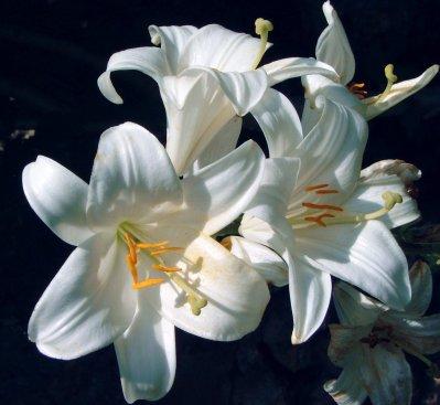 Fiche n 29 le lys blanc un symbole de puret blog de jardin974 - Lys blanc signification ...