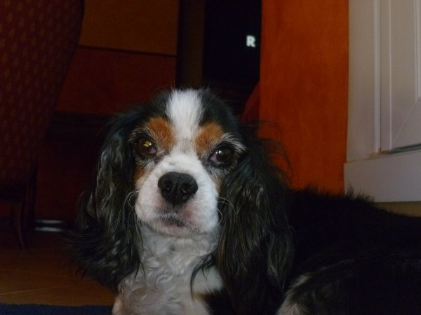 Mon chien Alaska <3 il est trop mignon je trouve si vous le trouvez mignon 1 J'aime svp sinon 1 commentaire