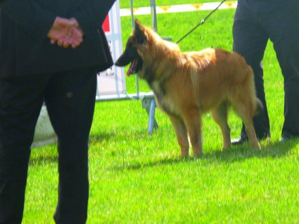 sa première expo et son premier ring d'honneur pour ilti en meilleur puppy
