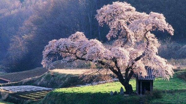 Image du jour : Cerisier en fleurs au Japon