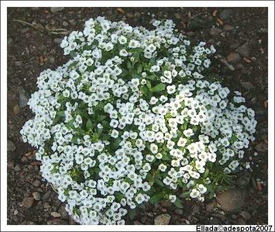 Alysse odorante plante annuelle eschscholzia110 for Plante odorante