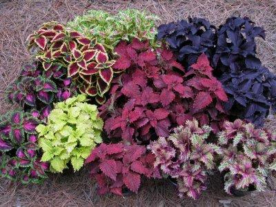 Coleus plante annuelle eschscholzia110 for Plante annuelle