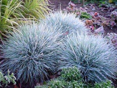 F tuque bleu plante vivace eschscholzia110 for Plante d interieur plein soleil