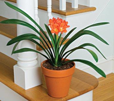 clivia lis de st josephe plante d 39 appartement eschscholzia110. Black Bedroom Furniture Sets. Home Design Ideas