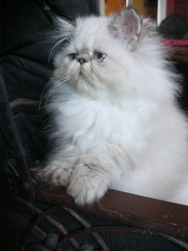 GUESS ( Seal Tortie Tabby Point ) 15 semaines