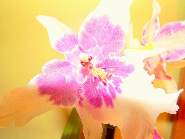 1ère orchidée :p