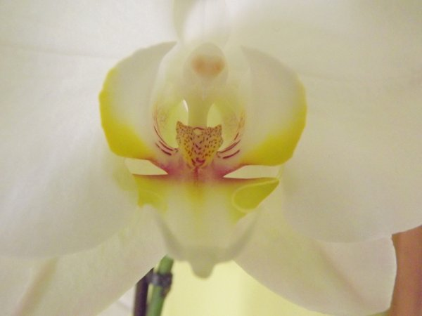 orchidée blanche ^^