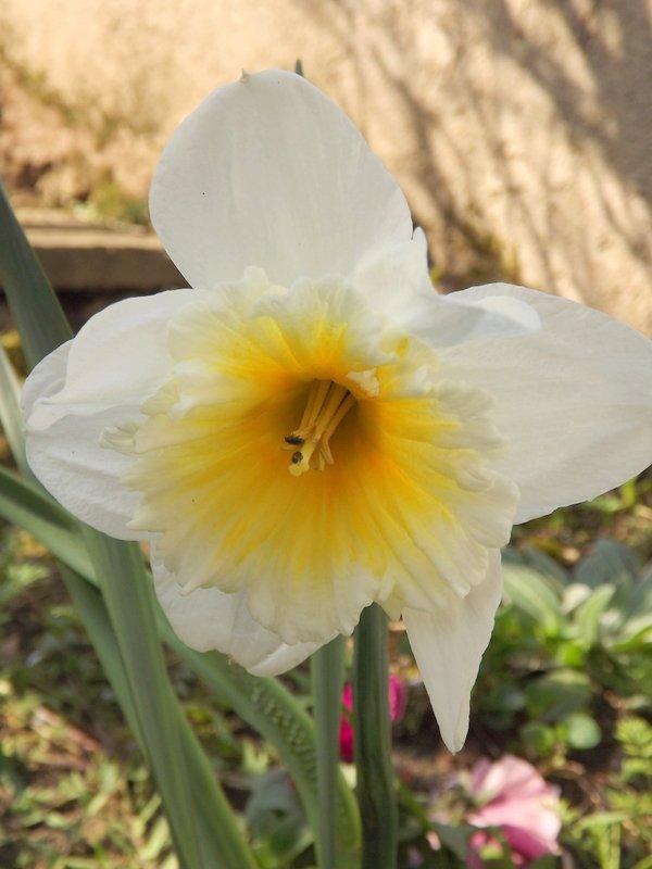 Jonquille jaune et blanche ^^