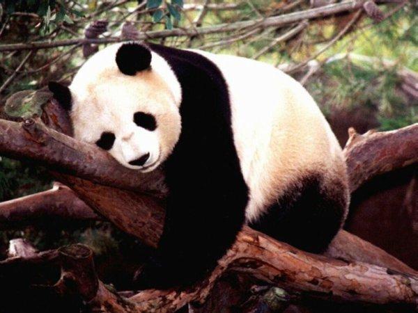 I love les panda