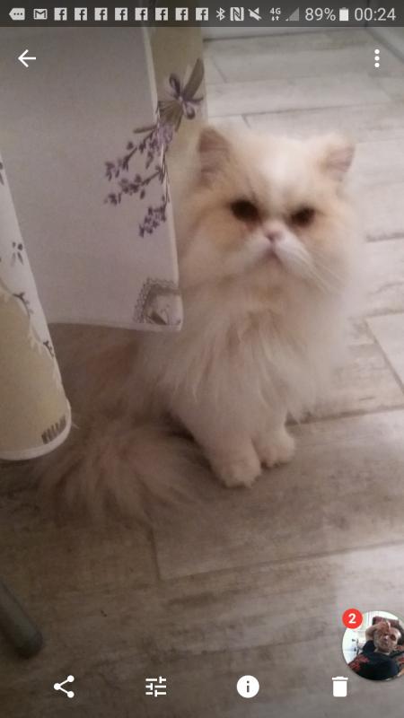 Nitti mon mâle persan/chinchilla