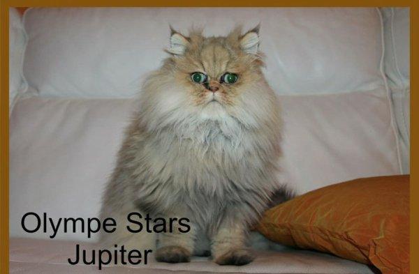 Jupiter mâle persan/chinchilla yeux verts😍😍😍😍