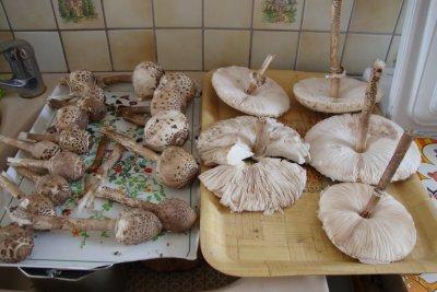 cueillette de   champignons 2