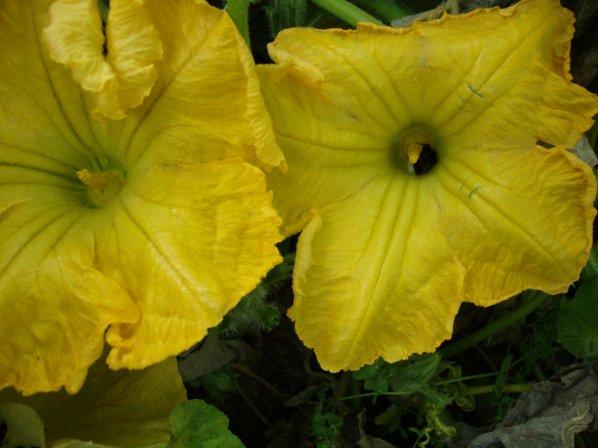récolte des légumes  et  fruits   du jardin