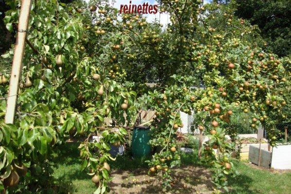 récolte des  pommes et  prunes