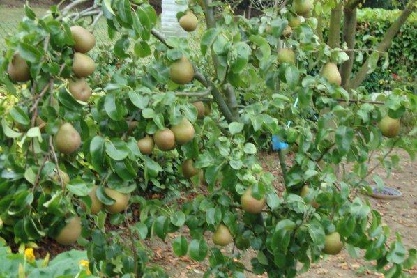 la saison des poires s'achévent