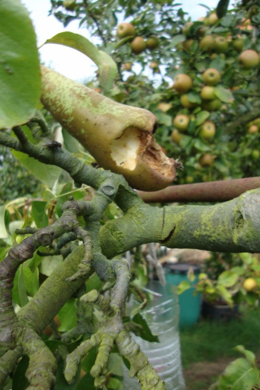 insectes   hyménoptères  à l'attaque des fruits !!!