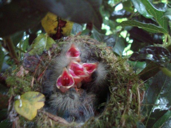 des oiseaux dans le laurier tin