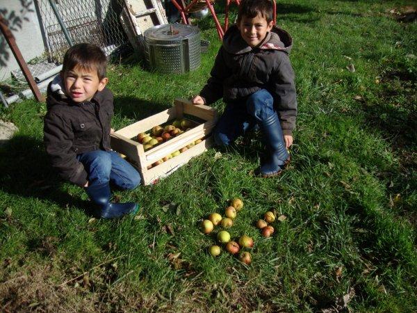 récolte  de  pommes   en  2013