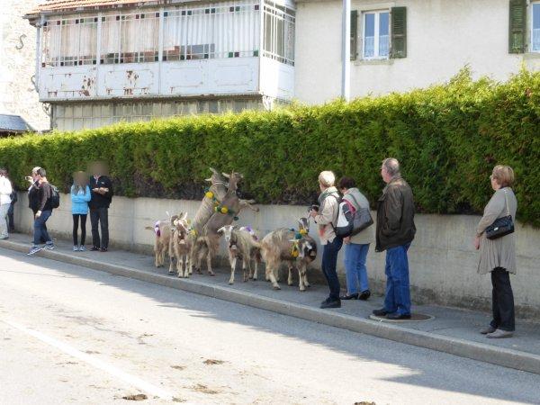 désalpes en Suisse 3