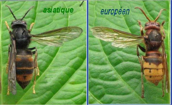 retour des frelons asiatique