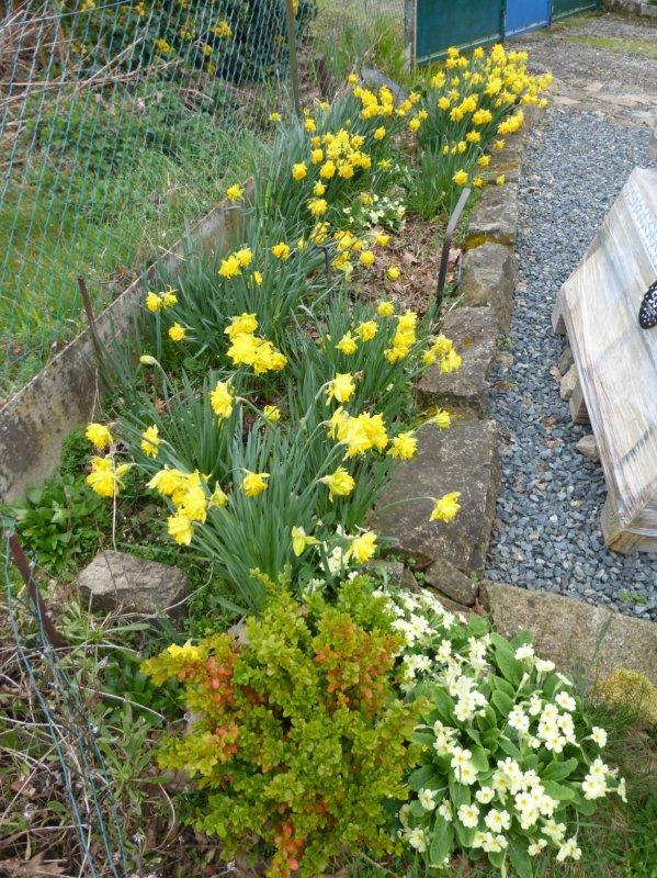 skimmias ,  c'est le printemps