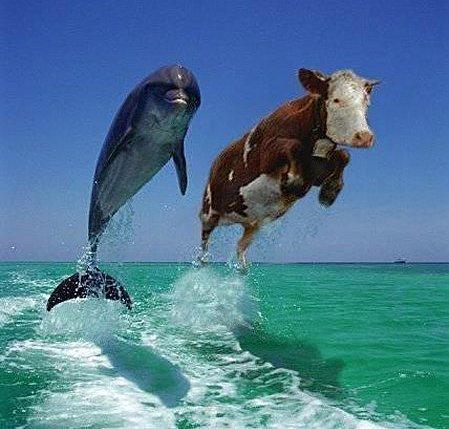 histoire d'une vache ....