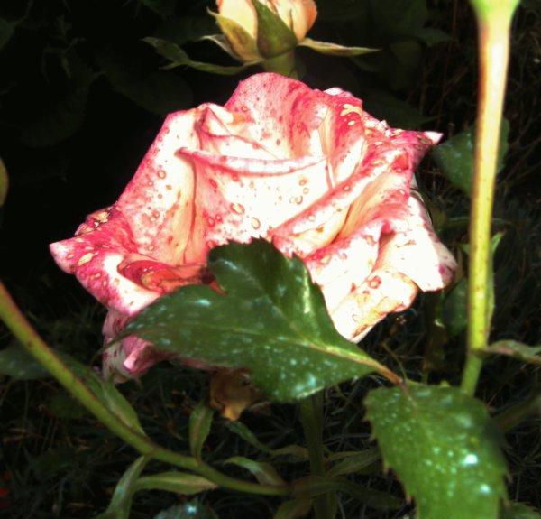 La rose pour illuminer ces fêtes de fin d'année.