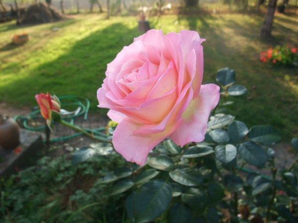 rose pour vous