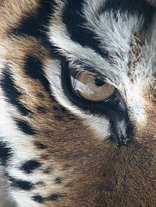Carte d'identité du Tigre