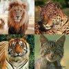 Les félins, menacés d'extinction