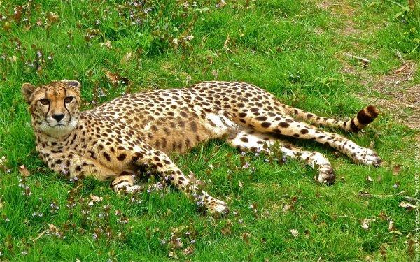 Carte d'identité du guépard