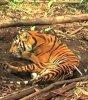 Un tigre mort dans un piège en Indonésie