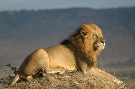 Carte d'identité du Lion