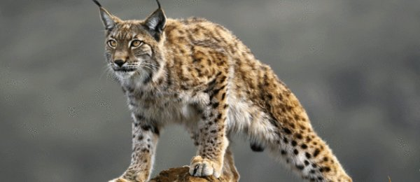 Carte d'identité du lynx boréal