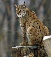 Un lynx boréal repéré en Pologne !!
