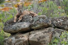 Le lynx de Pardelle ou ibérique
