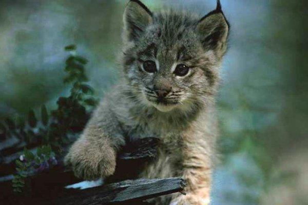 Bébé lynx de Pardelle...