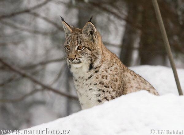 Image d'un magnifique lynx boréal