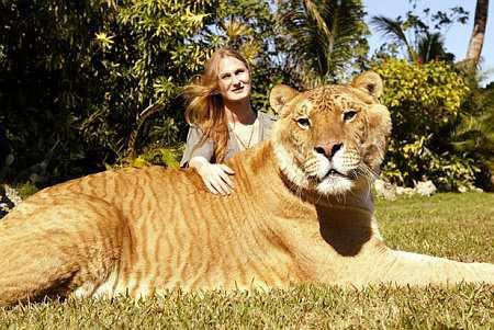 Le Ligre : union d'un lion et d'une tigresse ...